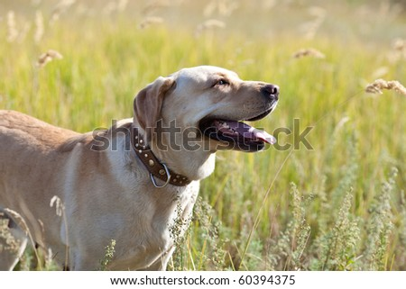 Labrador retriever in grass