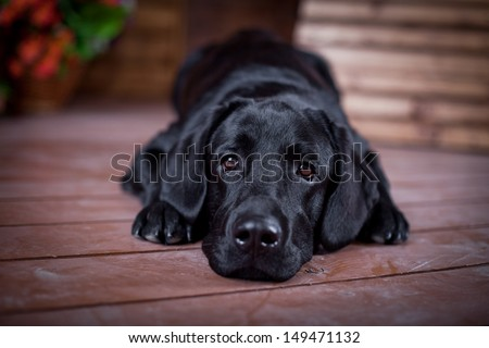 Stock Photo Labrador Retriever in the interior