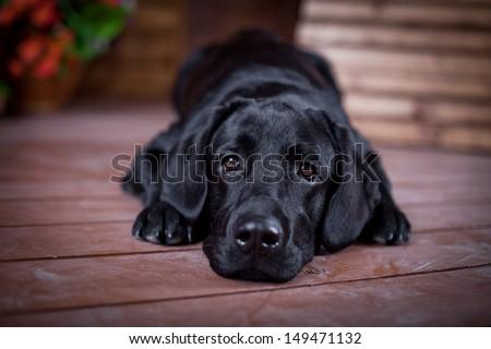 Stock Photo Labrador Retriever in the interior