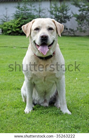 labrador retriever  in the park
