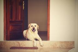 Labrador retriever is lying in door of the house - retro style