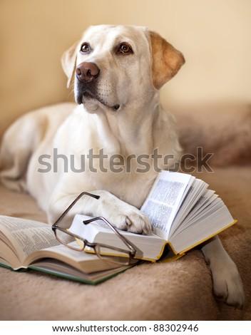 Labrador retriever is reading a book