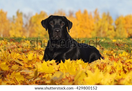 Labrador Retriever lying down in the beautiful Autumn leaves #429800152