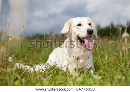 Labrador retriever lying in green grass - blue sky on background