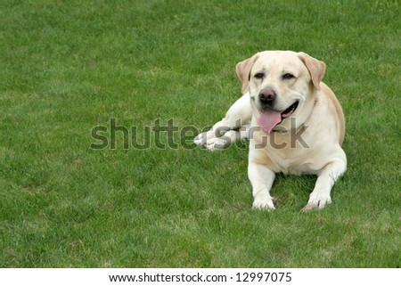 Labrador retriever lying on the grass #12997075