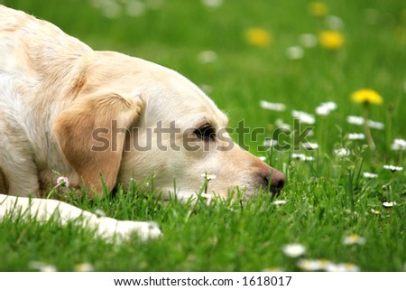 Labrador retriever lying on the grass