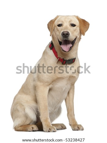 Labrador retriever, 11 months old, sitting in front of white background
