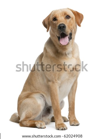 Labrador retriever, 12 months old, sitting in front of white background