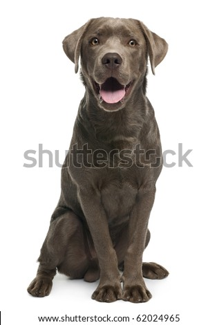 Labrador retriever, 7 months old, sitting in front of white background - stock photo