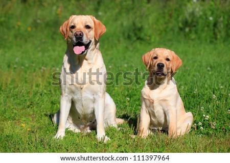 Labrador retriever-mother and her puppy