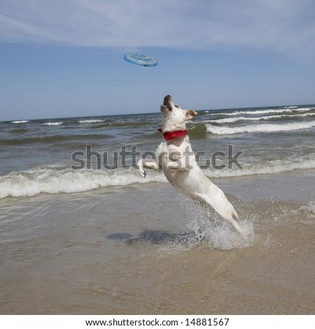 Labrador retriever playing frisbee.
