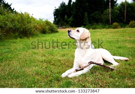 Labrador Retriever Playing Outside on Green Grass Field