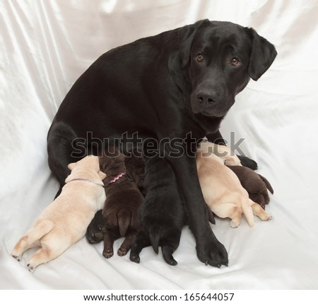 labrador retriever puppies and mom (one week old)