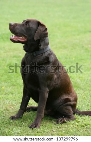 labrador retriever puppy dog chocolate