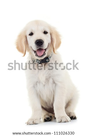 Labrador Retriever puppy dog sitting and looking at the camera while panting. Isolated on white