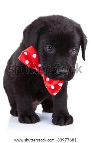 Labrador Retriever puppy in a handsome red bow tie over white