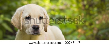 Labrador retriever puppy in the yard banner (shallow dof)