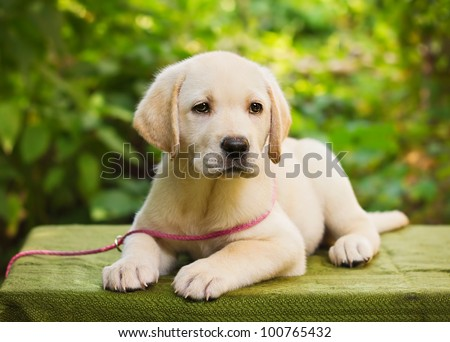 Labrador retriever puppy in the yard (shallow dof)