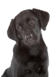 Labrador Retriever Puppy isolated on white