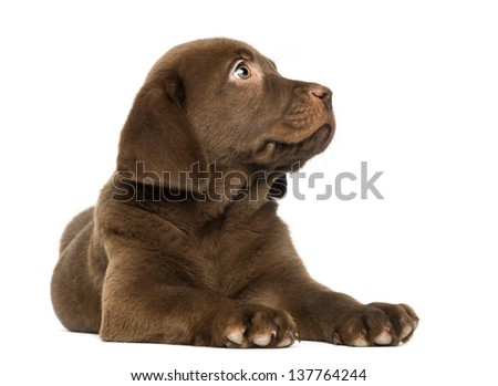 Labrador Retriever Puppy lying and looking up, 2 months old, isolated on white