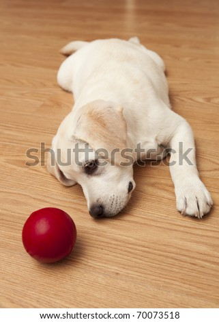 Labrador retriever puppy lying on the floor and playing with a red ball