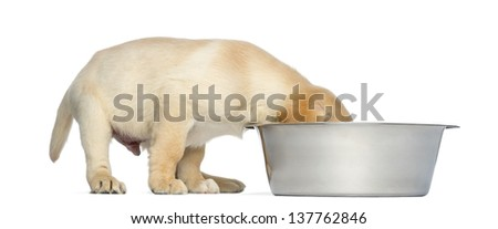 Labrador Retriever Puppy, 2 months old, with head in a big dog bowl, isolated on white