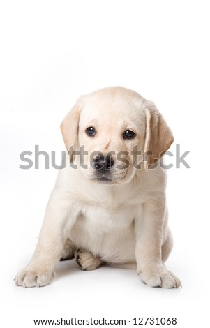Labrador Retriever puppy on white