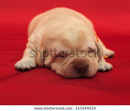 labrador retriever puppy (one week old)
