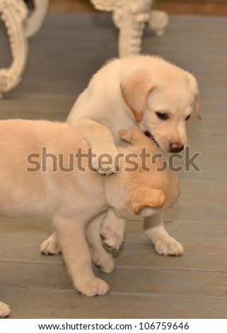 Labrador Retriever puppy outside grass brick