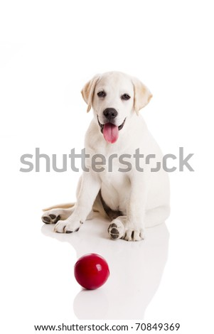 Labrador retriever puppy playing with a red ball, isolated on white