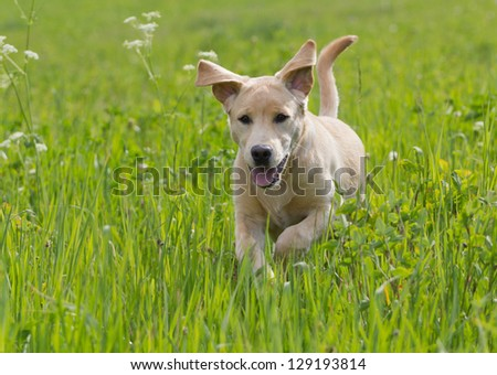 Labrador retriever puppy running in grass