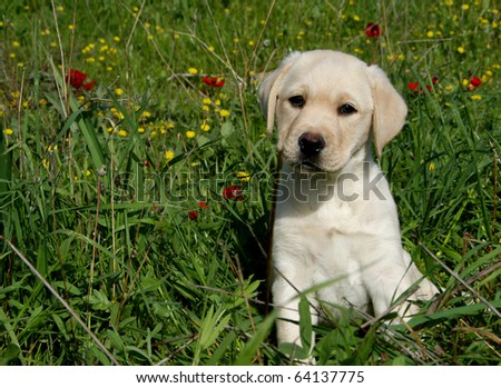 Labrador retriever puppy sitting among flowers in green field