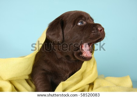Labrador retriever puppy with it's mouth open.