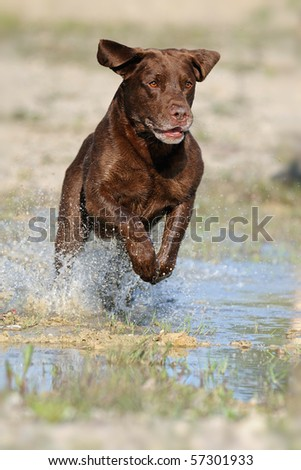Labrador retriever running - stock photo