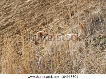 Labrador retriever running through a field
