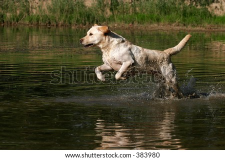 labrador retriever running through water