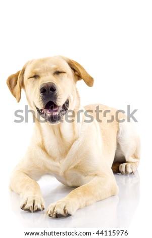 labrador retriever smiling for the camera with eyes closed