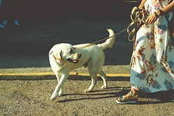 labrador retriever white dog on a leash . High quality photo