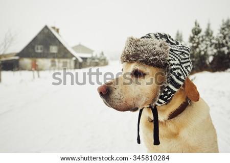 Labrador retriever with cap on his head in winter