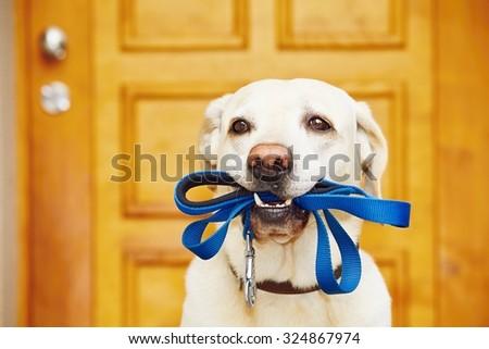 Labrador retriever with leash  is waiting for walk. #324867974