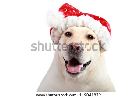labrador retriever with red Santa Claus hat on white background