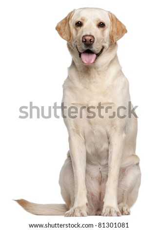 Labrador Retriever, 4 years old, sitting in front of white background - stock photo