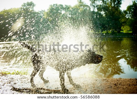 "Labrador Shaking Water off its Body, ""high-key"" lighting."