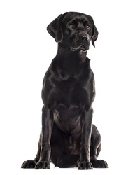 Labrador sitting in front of a white background