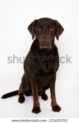 Labrador sitting Isolated on white
