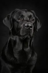 Labrador studio, black on black