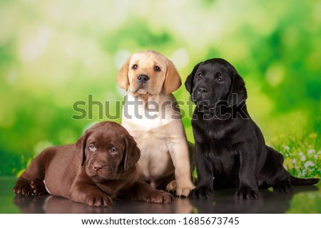 labrador three colour puppies black brown and yellow together Zdjęcia stock ©