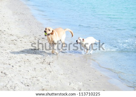 Labradors playing on the beach
