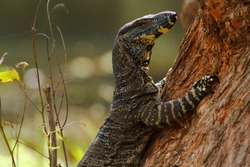 Lace monitor lizard holding onto a tree