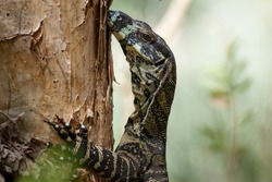Lace Monitor Lizard on a Tree